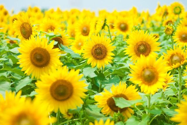 関西のひまわり畑のスポットを紹介!おすすめのひまわり畑や見頃を教えます!