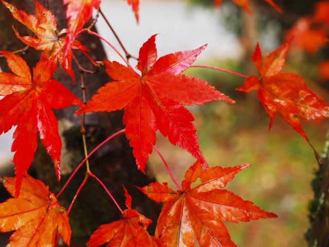 京都の紅葉は雨でも楽しめる!屋内で雨でも紅葉狩り出来るおすすめスポットをご紹介!