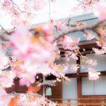 京都へお花見に子供と行くなら?子供も楽しいお花見スポット!子連れで春の京都にお出かけしよ!
