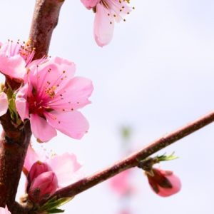 桃の花を長持ちさせる!咲かない蕾を開かせる方法と生け方のコツもご紹介!